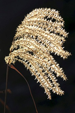 Silver grass (Miscanthus)