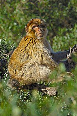Barbary macaque (Macaca sylvanus), Gibraltar, Europe