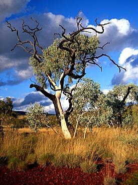 Eucalyptus Gum Tree, Munjina Gorge, Pilbara, Northwest Australia