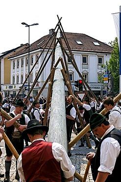 Maypole being raised, Prien, Chiemgau, Upper Bavaria, Germany, Europe