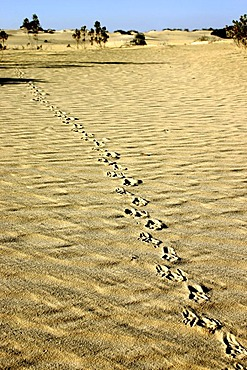 Goanna tracks in the desert, Nambung National Park, Western Australia