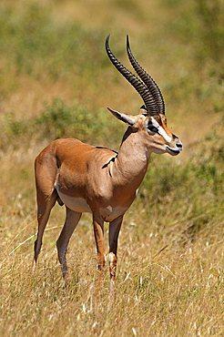 Grant's Gazelle (Nanger granti), buck, Samburu National Reserve, Kenya, Africa
