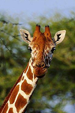 Somali Giraffe or Reticulated Giraffe (Giraffa camelopardalis reticulata), portrait, in the Samburu National Reserve, Kenya, Africa