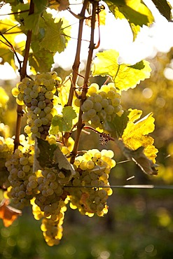 Ripe Riesling grapes shortly before harvest in fall, Rhineland-Palatinate, Germany, Europe