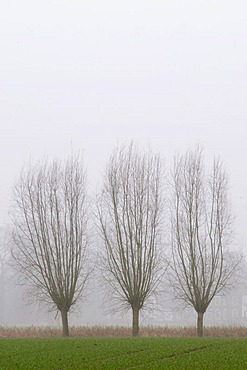 Pollarded willows at the edge of a field in hazy weather, Kamen, North Rhine-Westphalia, Germany, Europe
