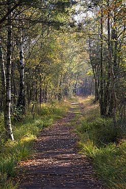 Path through the birch forest in the Venner Moor Naturschutzgebiet nature reserve, Muensterland region, North Rhine-Westphalia, Germany, Europe