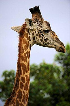 Masai Giraffe (Giraffa camelopardalis), portrait, Nairobi National Park, Kenya, East Africa, Africa