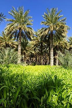 Date palms in the oasis of Tanuf, Hajar al Gharbi Mountains, Dhakiliya Region, Sultanate of Oman, Arabia, Middle East