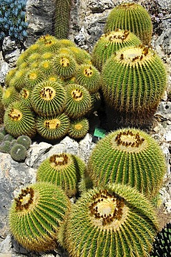 Cushion formation of Golden Barrel Cactus or Mother-in-Law's Cushion (Echinocactus grusonii), Jardin Exotique de Monaco, Botanical Gardens of Monaco, Monaco, Europe