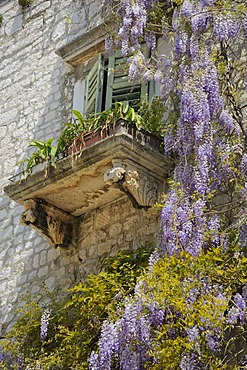 Wisteria growing on a palazzo in the historic town centre of Sibenik, Croatia, Europe
