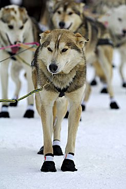 Alaskan Huskies, sled dogs at the start of the Iditarod Sleddog Race, longest dogsled race in the world between Anchorage and Nome, Alaska, USA