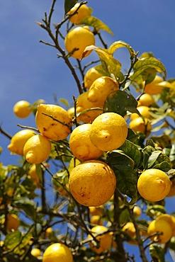 Lemon tree, Ibiza, Pine Islands, Balearic Islands, Spain, Europe