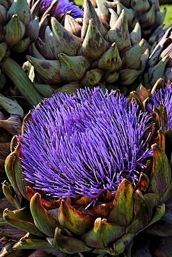 Artichoke flower (Cynara scolymus)