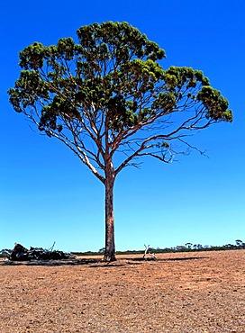 Eucalyptus Salmon Gum Tree (Eucalyptus salmonophloia), Western Australia, Australia