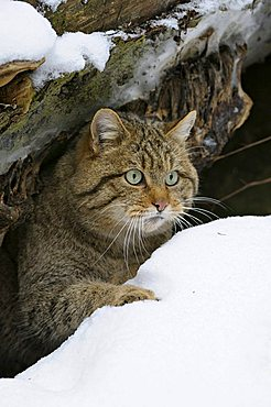 Wildcat (Felis silvestris) looking out of its hiding place in the snow, Bavarian Forest, Bavaria, Germany, Europe