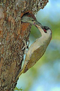 Green Woodpecker (Picus viridis), male feeding callow