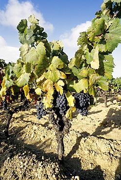 Vine with red grapes, Cote de Provence, Saint-Tropez, Gassin, Cote d'Azur, Var, Southern France, France, Europe