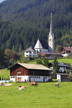 Grazing cows in front of the Catholic Church, Gosau, Salzkammergut, Upper Austria, Austria, Europe