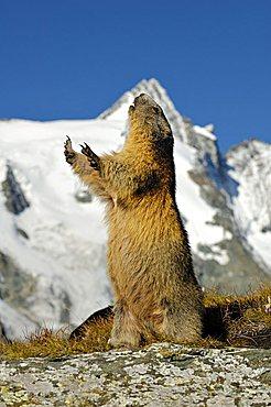 Alpine marmot (Marmota marmota), Grossglockner, Alps, Austria, Europe