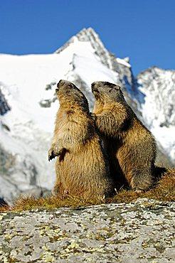 Alpine marmots (Marmota marmota), Grossglockner, Alps, Austria, Europe