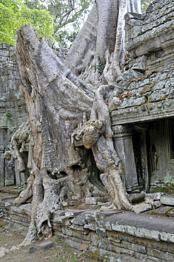 Thitpok or Tetrameles (Tetrameles nudiflora), tree with its roots growing in the ruins of the Prasat Preah Khan temple complex, UNESCO World Heritage Site, Siem Reap, Cambodia, Asia