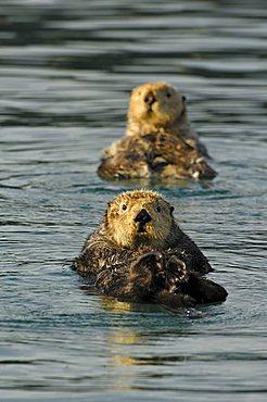 Sea otters (Enhydra lutris)