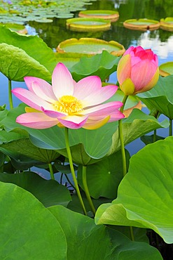 Indian Lotus blossoms (Nelumbo nucifera)