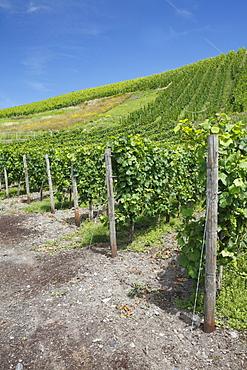 Vineyard in Bernkastel-Kues, Rhineland-Palatinate, Germany, Europe