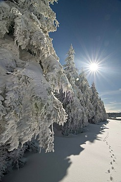 Snow and hoar frost covered firs with sun, Schauinsland, Black Forest, Baden-Wuerttemberg, Germany, Europe
