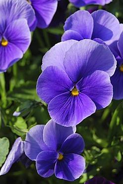 Pansies (Viola), purple