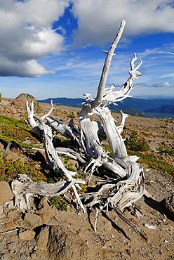 Dead tree, south face of Mount Hood volcano, Cascade Range, Oregon, USA