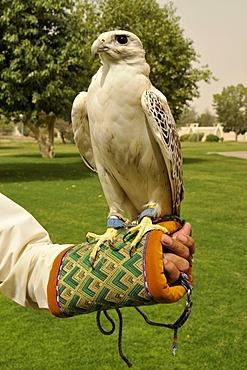 Falcon perched on falconer's arm, at the Al Ain zoo, Al Ain, Abu Dhabi, United Arab Emirates, Arabia, Orient, Middle East