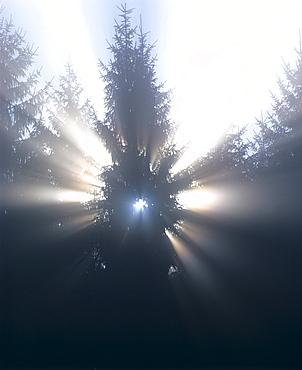 Sunrays breaking through morning mist, backlit spruce