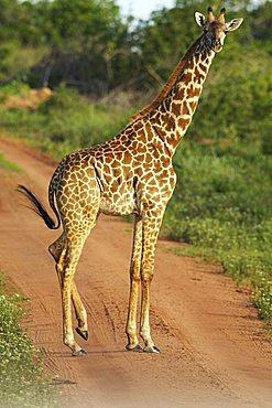 Masai giraffe (Giraffa camelopardalis tippelskirchi), Shimba Hills Nature Reserve, Tanzania, Africa