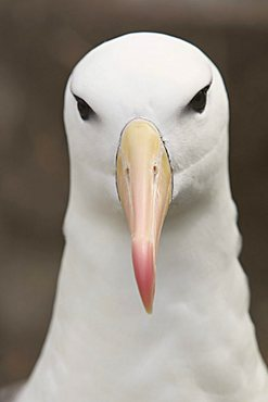 Black-browed Albatross or Black-browed Mollymawk (Diomedea melanophris), Falkland Islands, South America