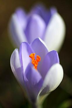 Crocus blossom (Crocus)