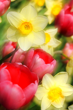 Tulips (Tulipa) and daffodils (Narcissus)