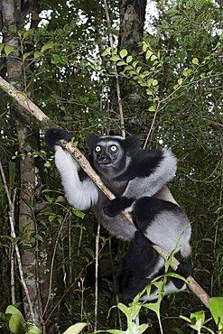 Indri or Babakoto (Indri indri), Madagascar, Africa