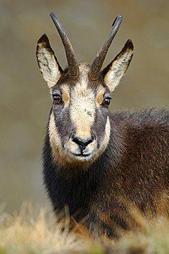 Chamois (Rupicapra rupicapra) portrait , Nationalpark Gran Paradiso Italy