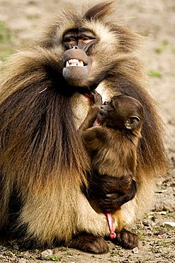 Gelada or Gelada Baboon (Theropithecus gelada) male holding infant, Rheine Zoo, North-Rhine Westphalia, Germany, Europe