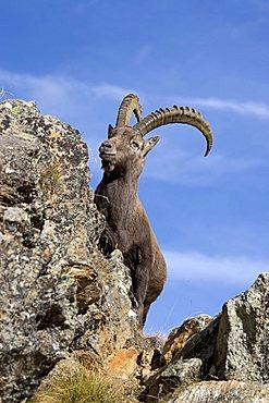 Alpine Ibex (Capra ibex) in rocky mountainous landscape, National Park Gran Paradiso, Italy