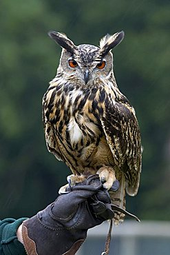 Eurasian Eagle Owl (Bubo Bubo) perched on falconer's hand, Wolfspark, Gerolstein, Vulkaneifel, Germany, Europe