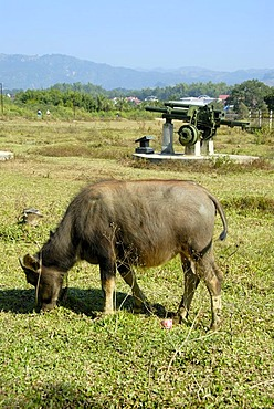 First Indochina War 1954, water buffalo grazing in front of old French artillery cannon in the field, Dien Bien Phu, Vietnam, Southeast Asia, Asia