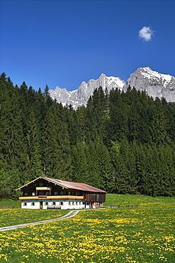 Farm between Going and St. Johann, dandelion meadow in spring, Wilder Kaiser mountain, Tyrol, Austria, Europe