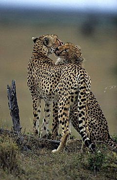 Two cheetahs (Acinonyx jubatus)