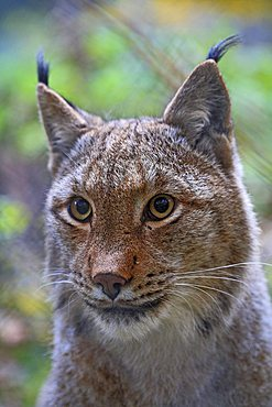Portrait, Eurasian Lynx, or Northern Lynx (Lynx lynx) in an enclosure, Tierpark Weilburg Zoo, Hesse, Germany, Europe