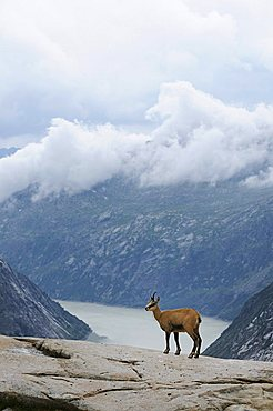 Chamois (Rupicapra rupicapra) standing on a rock ledge, view of the valley