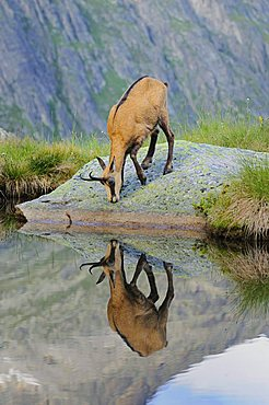 Chamois (Rupicapra rupicapra) reflected in the mountain lake
