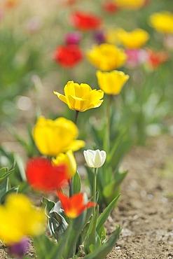 Various tulips (Tulipa hybrid)