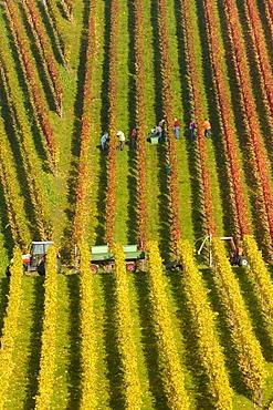 Grape harvest in Remstal, Baden-Wuerttemberg, Germany, Europe